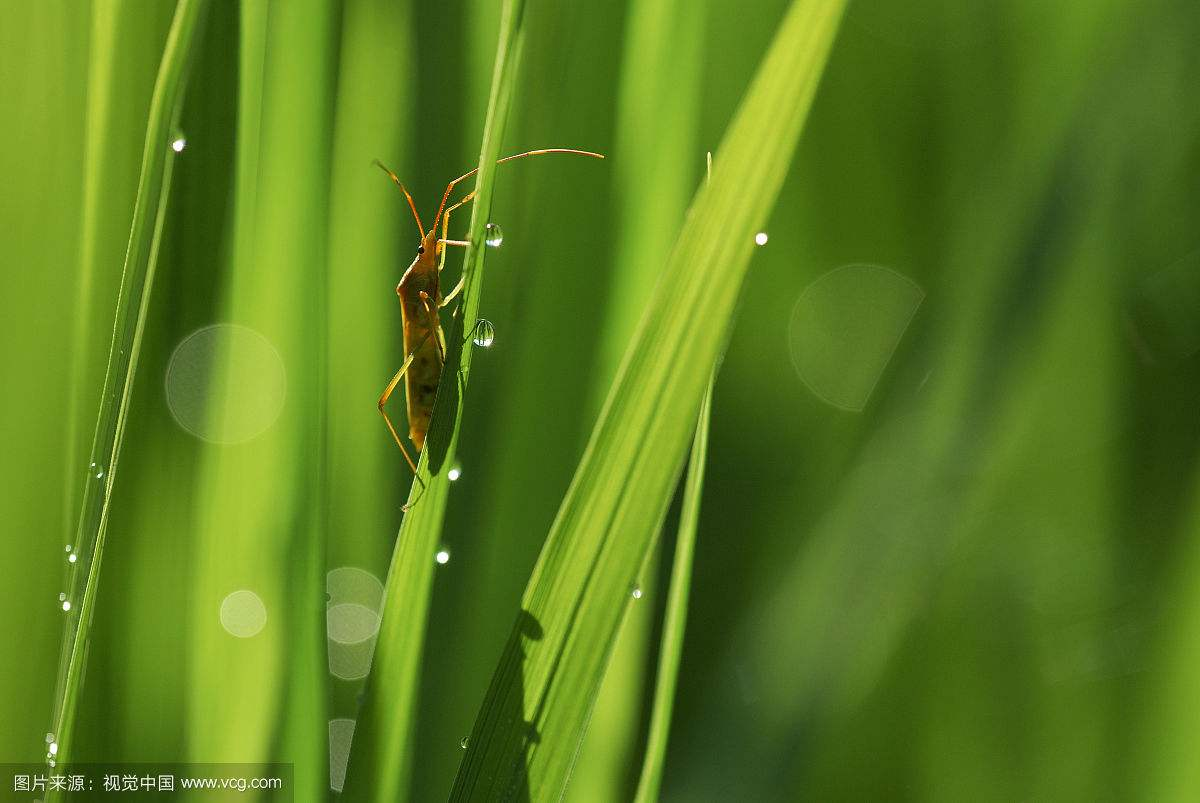 水稻害虫2.jpg